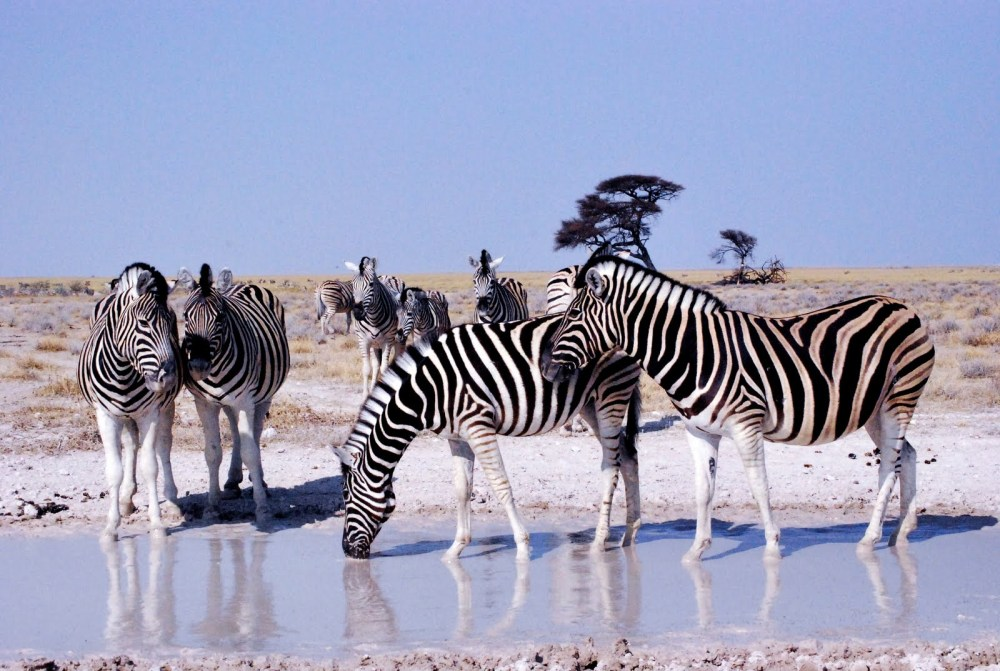 zebras in the etosha
