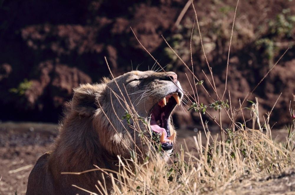 Lion - Tanzania