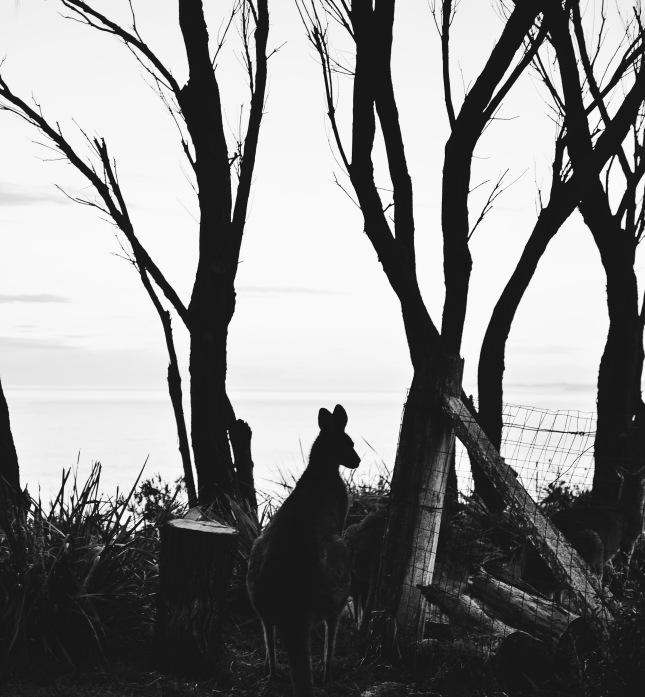 Potato Point - Kangaroo Black and White