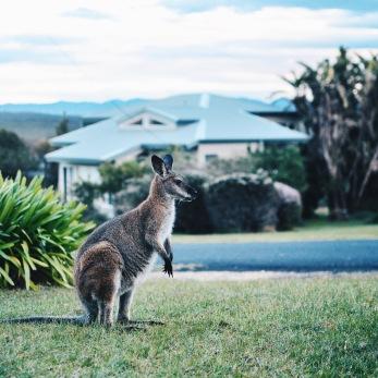Potato Point - Kangaroo