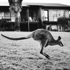 Potato Point - Kangaroo Black and White Jump